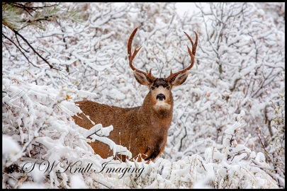 Huge Buck Mule Deer in Snow