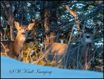 Morning Mule Deer Does