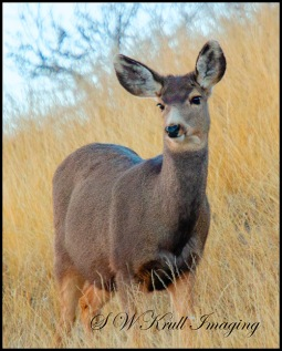 Mule Deer Portrait