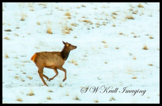 Young Elk on the Run