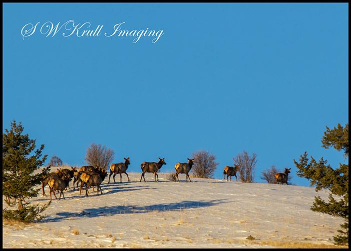 Morning Elk Herd