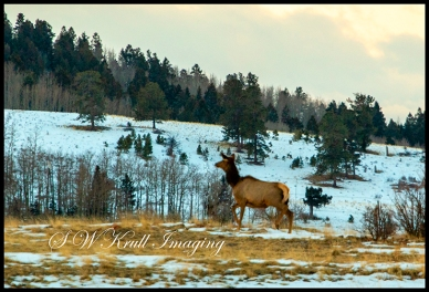 Elk Herd on a Winter Morning
