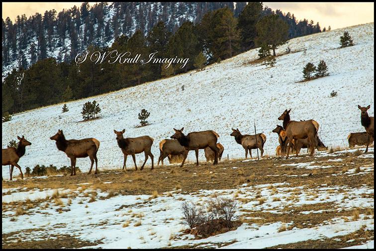 Elk Herd on a Winter Morning
