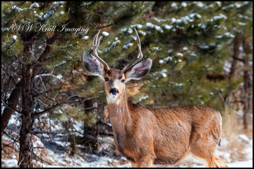 Mule Deer Buck in the Winter