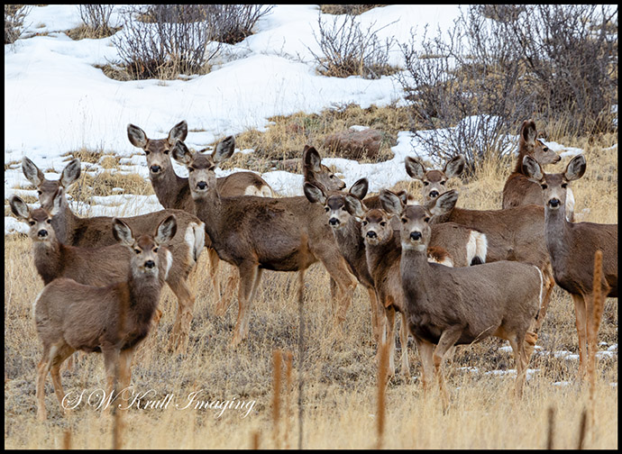 Beautiful Herd of Mule Deer