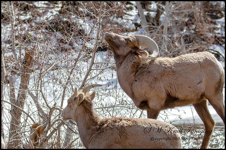 Bighorn Sheep Along the Platte River