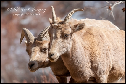 Bighorn Sheep Along the Platte River