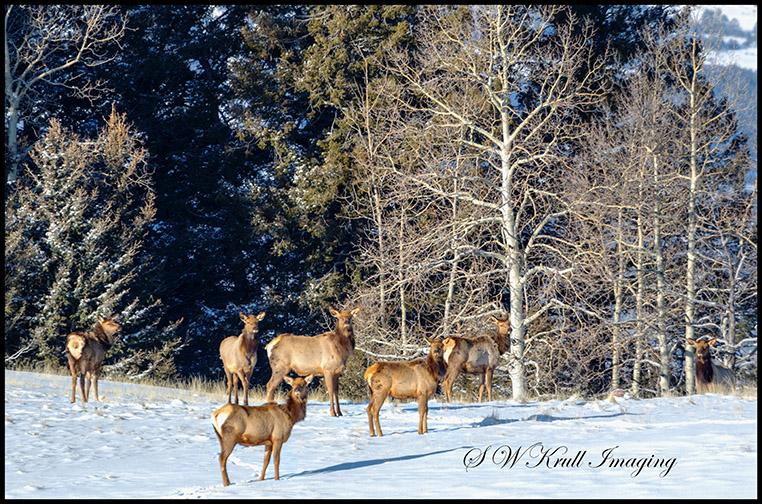 Elk in Fresh Snow