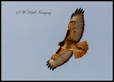 Rough legged hawk Soaring Above the Rockies