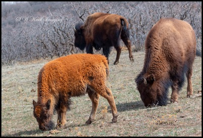 Colorado Bison Herd