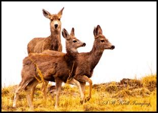 Mule Deer Herd in the Fog