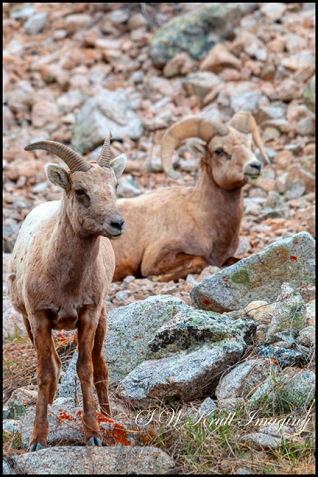 Bighorn Sheep in the Mountains