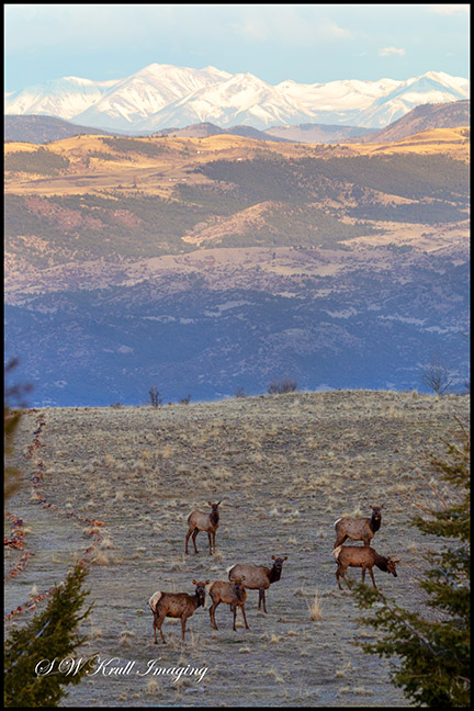 Elk Herd with the Sangre de Cristo Mountain Range