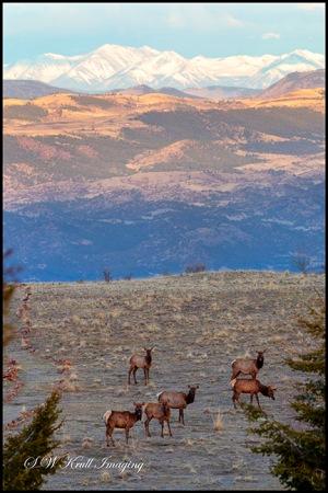 Elk Herd with the Sangre de Cristo Mountain Range