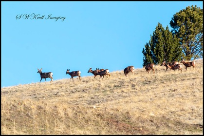 Beautiful Herd of Mule Deer