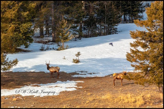 Elk Herd in the High Country