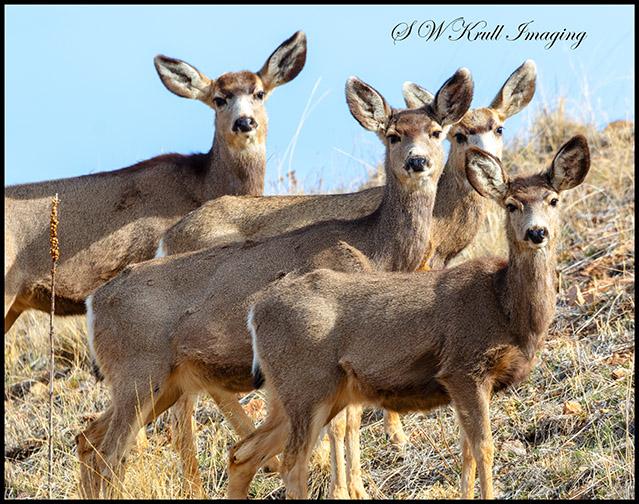 Mule Deer in the Rocky Mountain Springtime