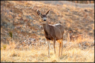 Mule Deer in the Rocky Mountain Springtime