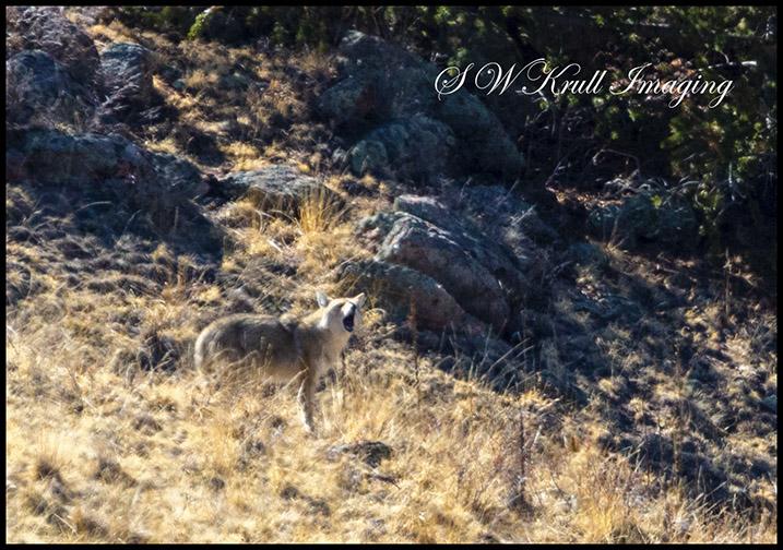 Mama Coyote Barking a Warning