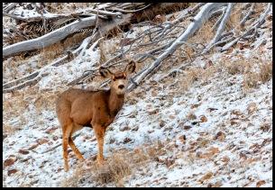 Cute mule deer