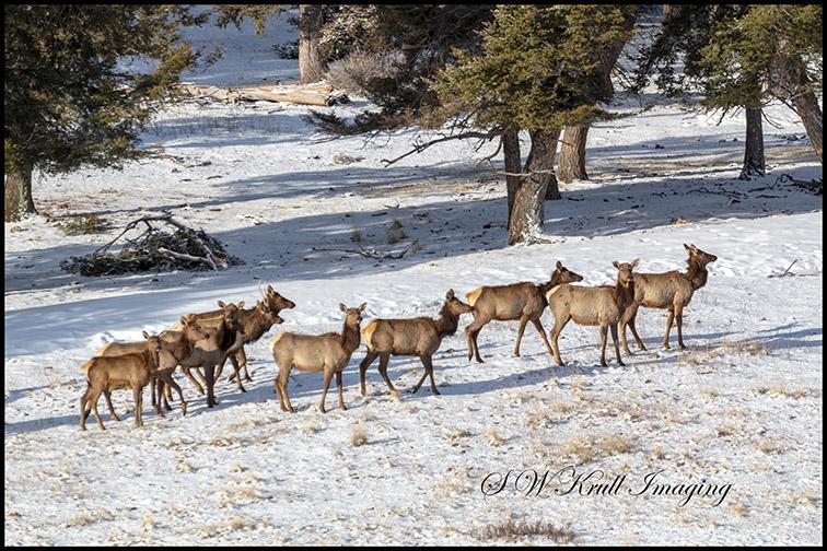 Winter Morning Elk Herd