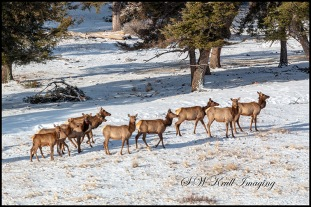 Winter Morning Elk Herd