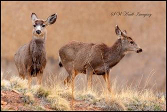 Morning Deer Herd