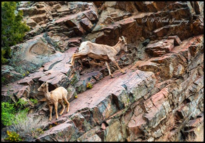 Herd of Bighorn Sheep at Play