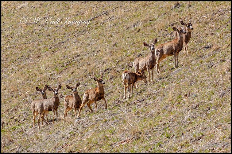 Herd of mule deer in the morning sun