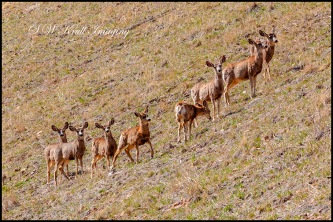 Herd of mule deer in the morning sun