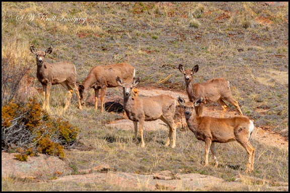 Herd of Mule Deer in the Sun