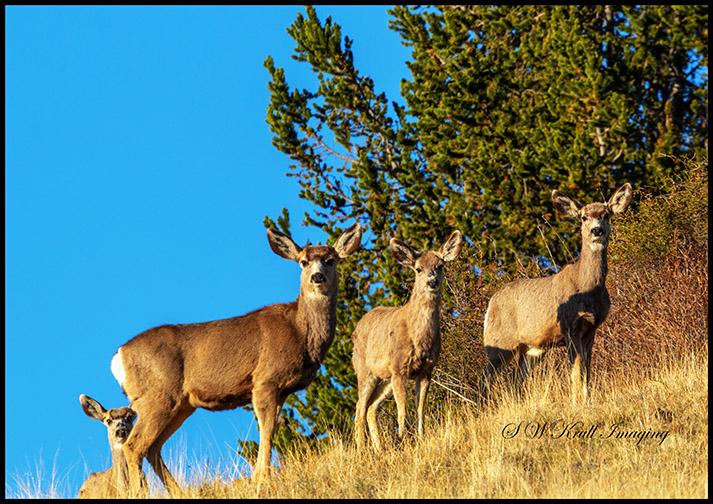 Trio of Rocky Mountain Mule Deer