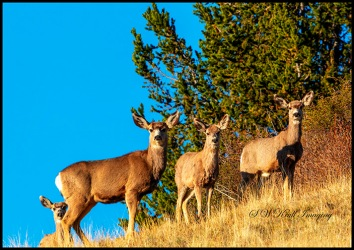 Trio of Rocky Mountain Mule Deer