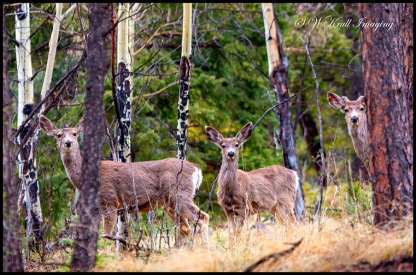 Wilderness Mule Deer