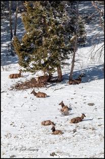Elk in Fresh Rocky Mountain May Snow