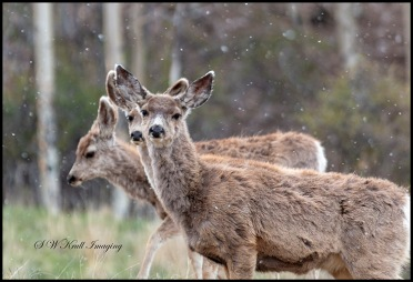 Mule Deer Herd on a Snowy Morning