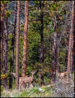 Herd of Colorado Springtime Mule Deer