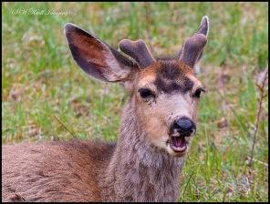 Springtime Buck Mule Deer