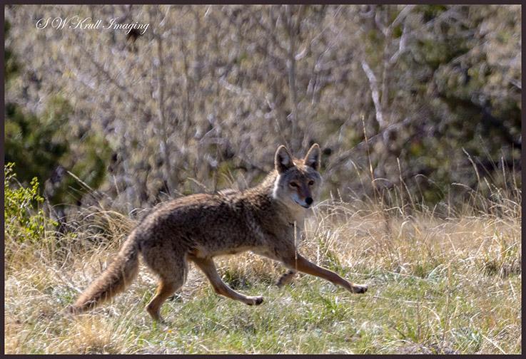 Colorado Rocky Mountain Coyote running free