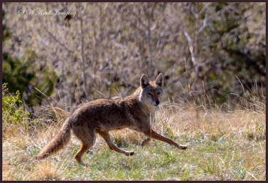 Colorado Rocky Mountain Coyote running free