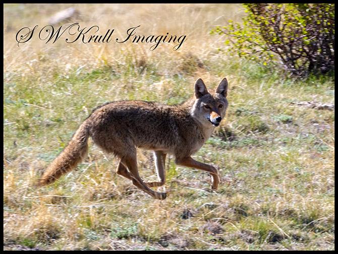 Colorado Rocky Mountain Coyote