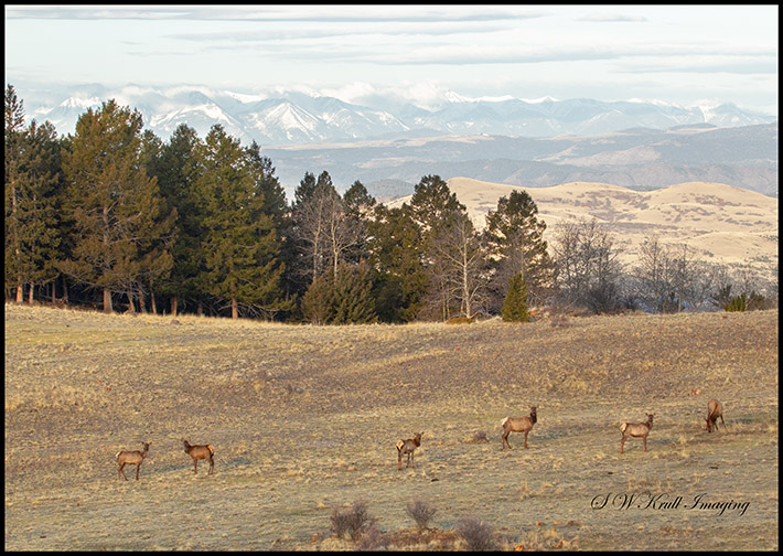 Elk Herd and the Sangre de Cristo