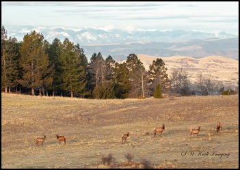 Elk Herd and the Sangre de Cristo