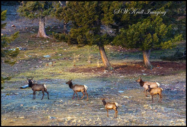 Elk Herd in the Wilderness