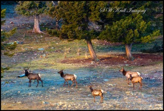 Elk Herd in the Wilderness