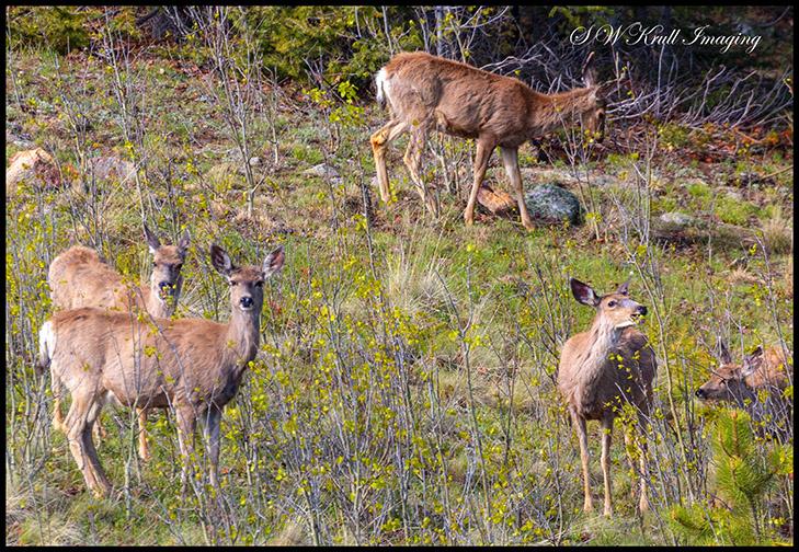 Deer on the Rocky Mountain Hillside