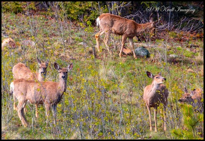 Deer on the Rocky Mountain Hillside