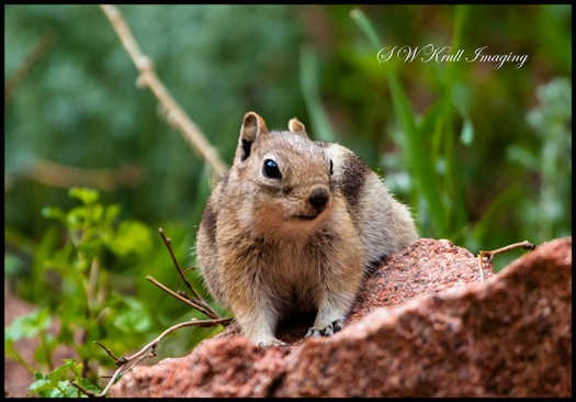 Rocky Mountain Chipmunk