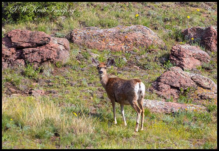 Deer in the Rockies