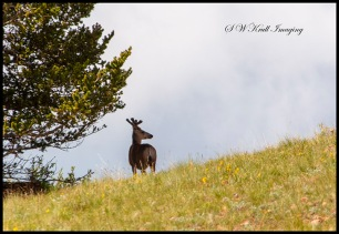 Big Buck Mule Deer on the Ridge